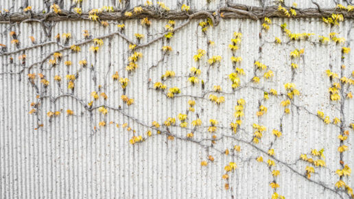 Yellow climbing plant on wall